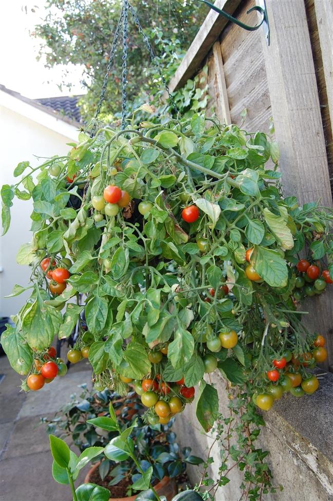 Tomato diary / Dziennik pomidorowy 2010